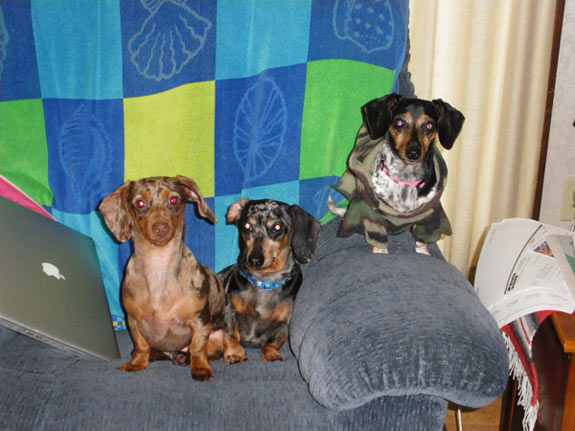 All three miniature dachshunds